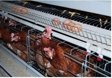 Coop poule poulet Cage