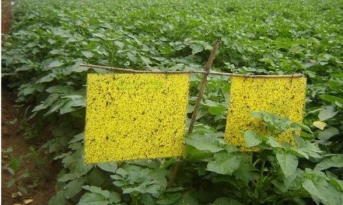 thrips aleurode coller insectes pièges papier glie