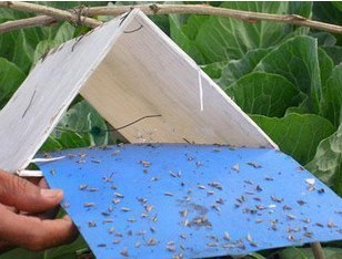 stick insect yellow BLUE board/sticky paper ,Insect Glue Traps ,sticky paper ,trap/moth killing board thrips whitefly glue paper ,thrips whitefly glue TRAPS