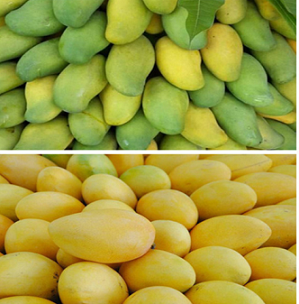 Mango Ethylene Ripener for Pakistan market