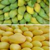 Mango Ripener season will come,Order coming!