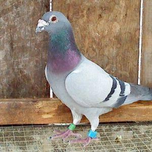RFID鸽子脚环125KHZ低频TK4100/EM4100芯片宠物电子脚环 动物的信息化管理