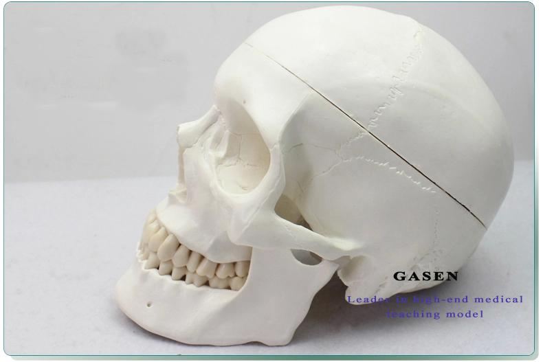 Skull Brain Model10