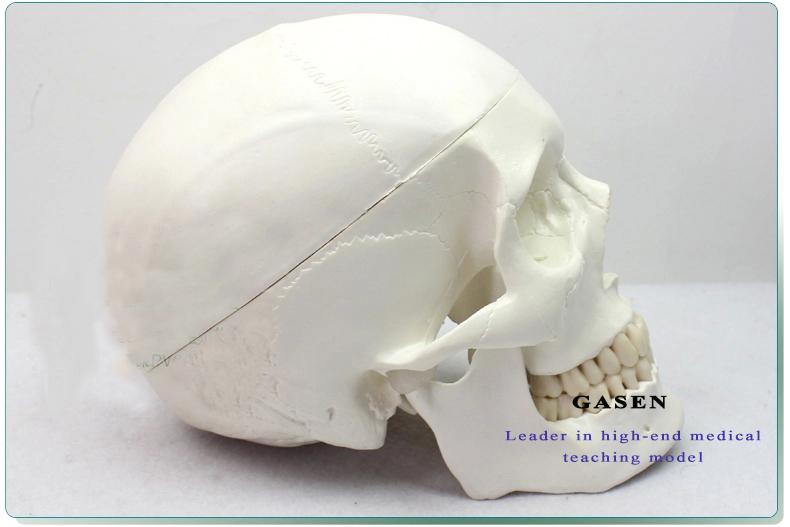 Skull Brain Model11