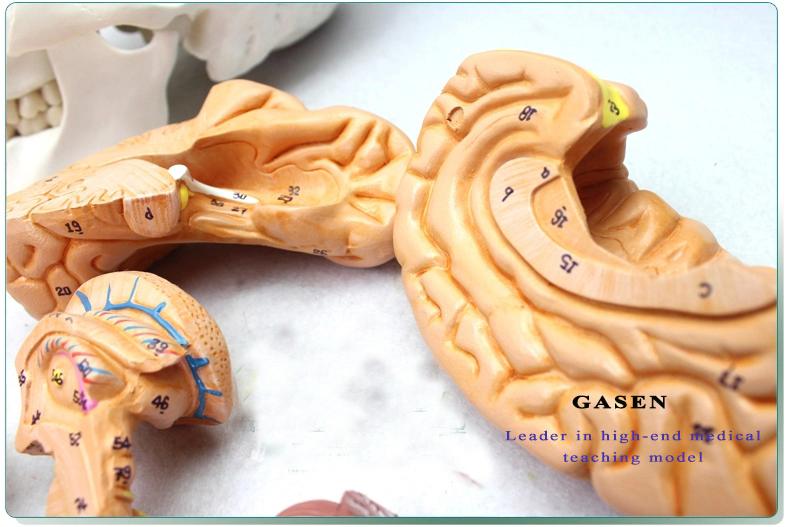 Skull Brain Model13