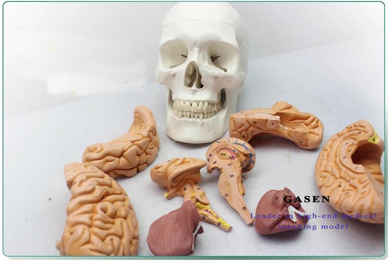 Skull Brain Model16