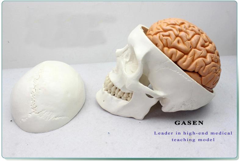 Skull Brain Model17