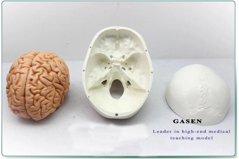 Skull Brain Model19