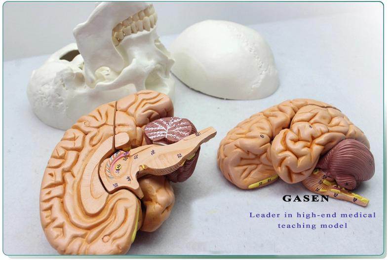 Skull Brain Model20