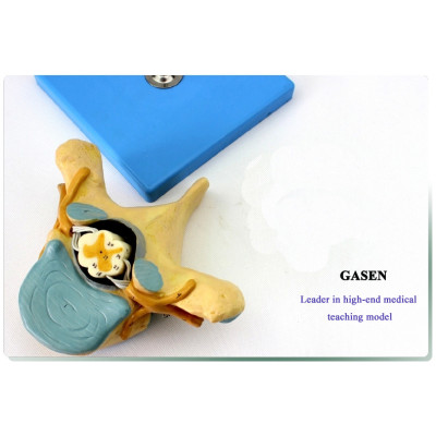 HUMAN BONE SIMULATE THORACIC SPINAL CORD AND SPINAL NERVES ATTACHED ZOOM MODEL THORACIC MODEL GASEN-FZG003