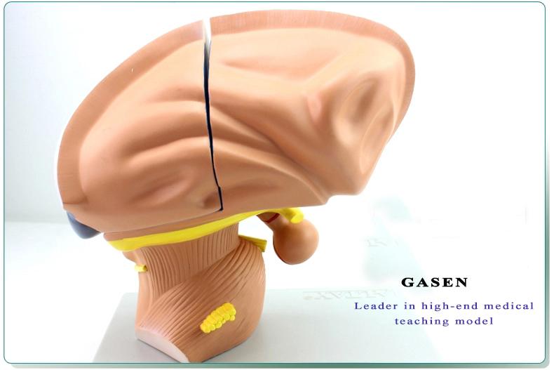 Brain Model15