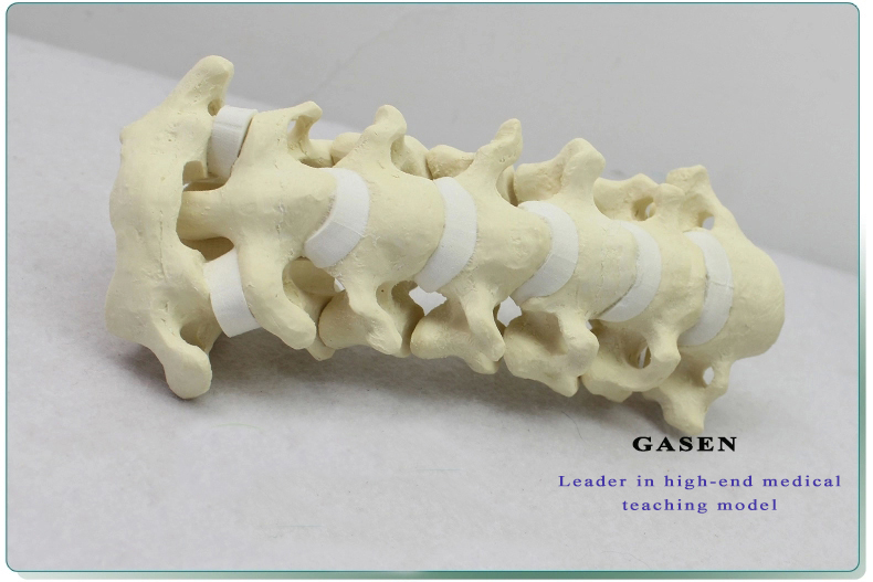 Cervical Vertebra Model09