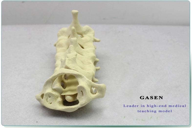 Cervical Vertebra Model12