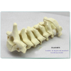 SAWBONE ORTHOPEDIC BONE MODEL OF TEACHING SEVEN SECTIONS OF CERVICAL BONE ORTHOPEDIC SURGERY SIMULATION DEMO CERVICAL MODEL GASEN-FZG006