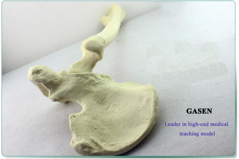 Bone cancellous bone model1