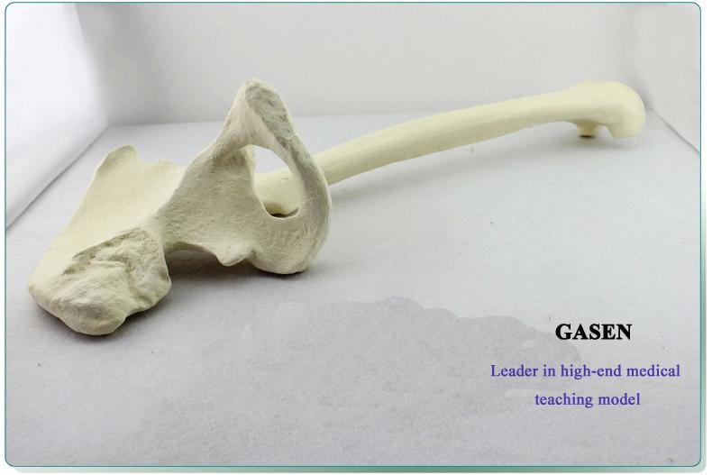 Bone cancellous bone model2