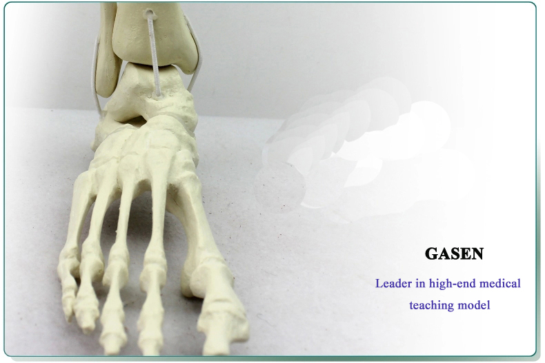 Ankle model1