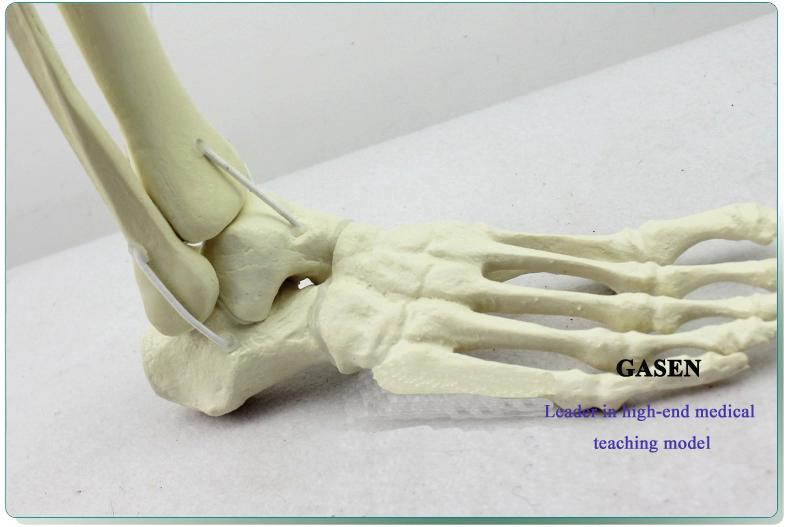 Ankle model4