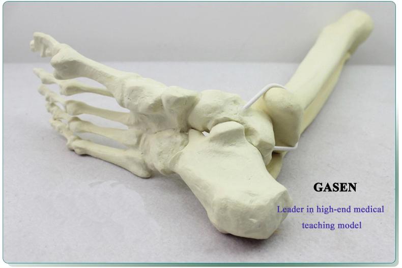 Ankle model6
