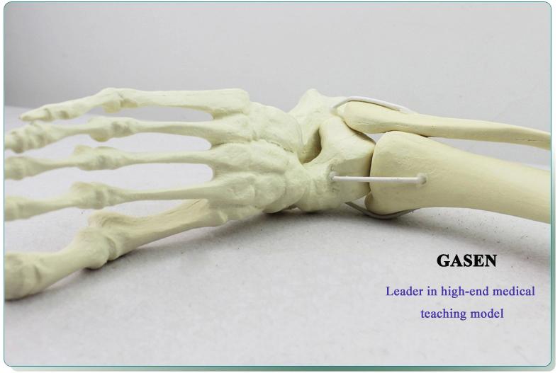 Ankle model7