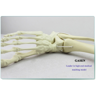 HUMAN MEDICAL MODEL HUMAN BONE SIMULATE ANKLE MODEL-GASEN-FZG008