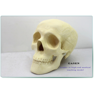 ORTHOPEDIC SURGERY DEMONSTRATION MODEL SKULL MODEL NEUROLOGY CRANIOPLASTY SKULL MODEL-GASEN-FZG009