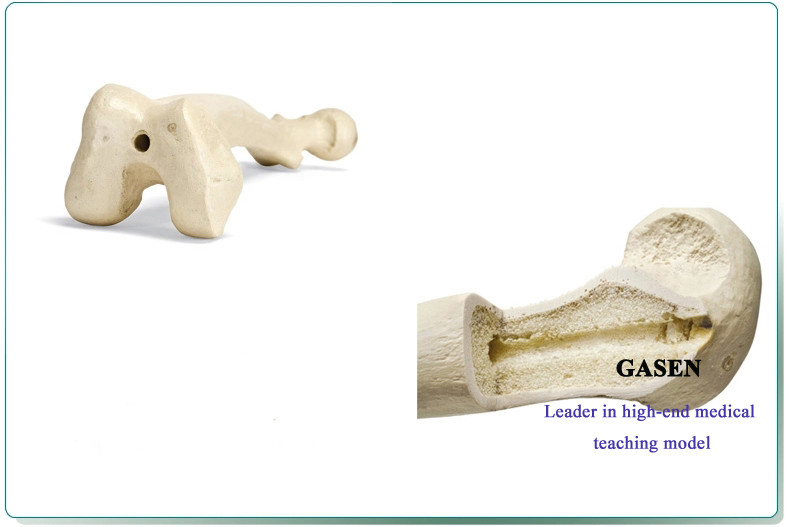 Cancellous Bone Model5