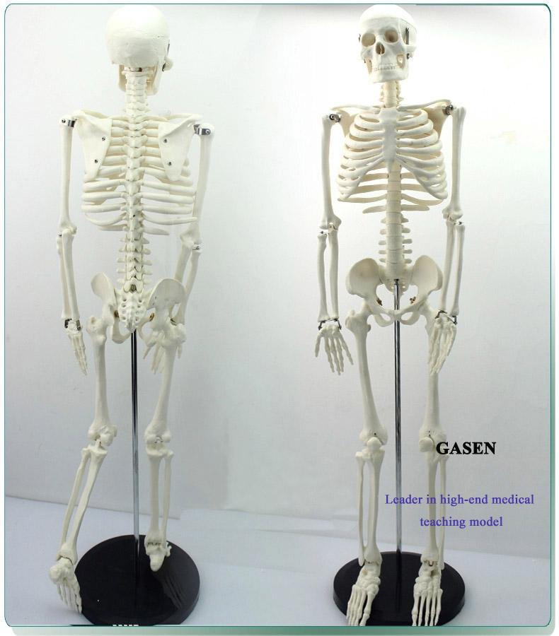 85CM The skeleton model3