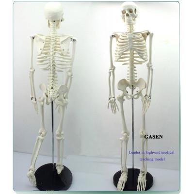 MADICAL HUMAN SKELETON MODEL TEACHING EDUCATIONAL MODEL 85CM HUMAN BONE MODEL-GASEN-GL001
