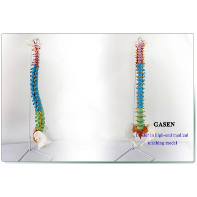 MEDICAL AUTHENTIC HUMAN TEACHING SPINE MODELVERTEBRA BONESETTING PRACTICE BONE SETTING MANIPULATION EXERCISES SKELETON MODEL SPINE MODEL-GASEN-GL002