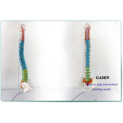 MEDICAL AUTHENTIC HUMAN TEACHING SPINE MODELVERTEBRA BONESETTING PRACTICE BONE SETTING MANIPULATION EXERCISES SKELETON MODEL SPINE MODEL-GASEN-GL002