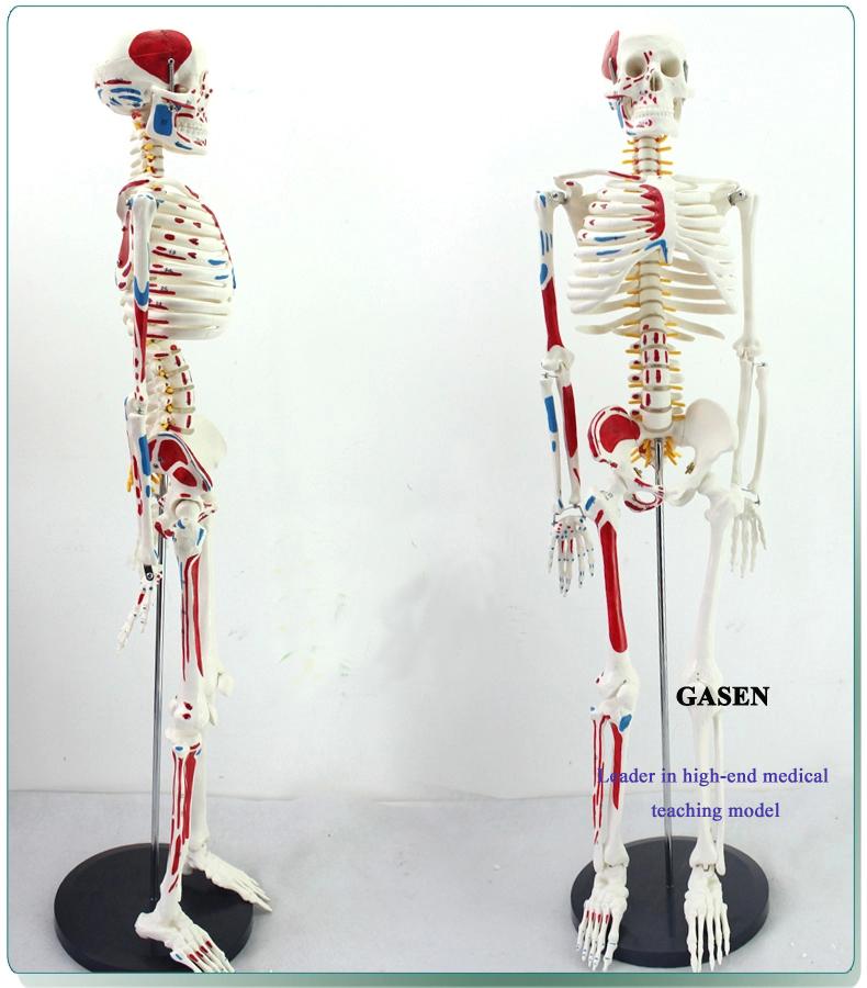 85CM The skeleton model1