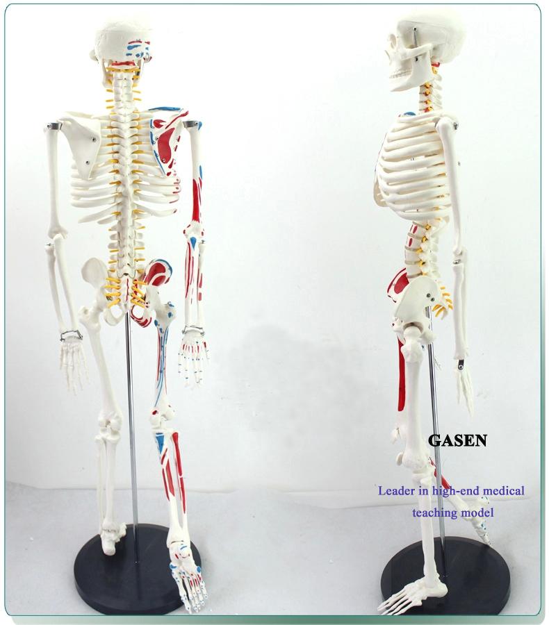 85CM The skeleton model4