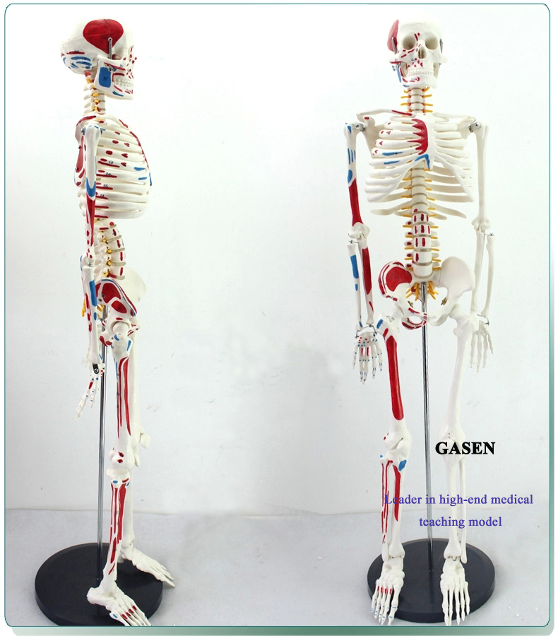 85CM The skeleton model5