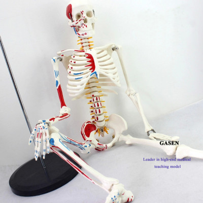 HUMAN SKELETON MODEL WITH NEUROLOGICAL SPINE 85CM  HUMAN SKELETON WITH NEURAL MODEL-GASEN-GL003