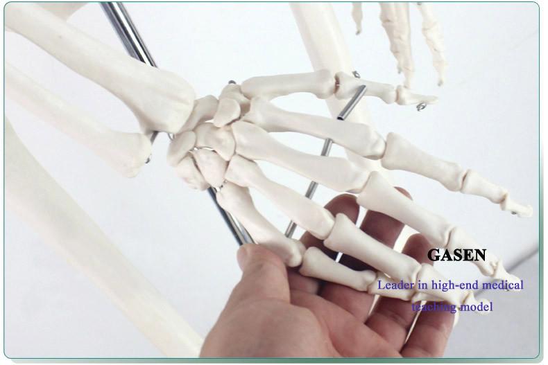 170CM The skeleton model01