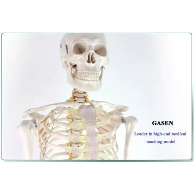 HUMAN MEDICAL  SKELETON MODEL 170CM  EDUCATIONAL MODEL 170CM HUMAN SKELETON MODEL-GASEN-GL004