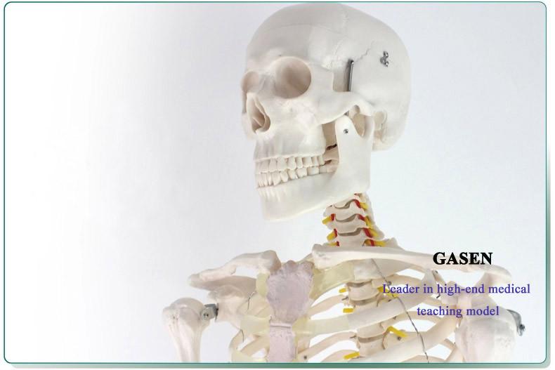 170CM The skeleton model09