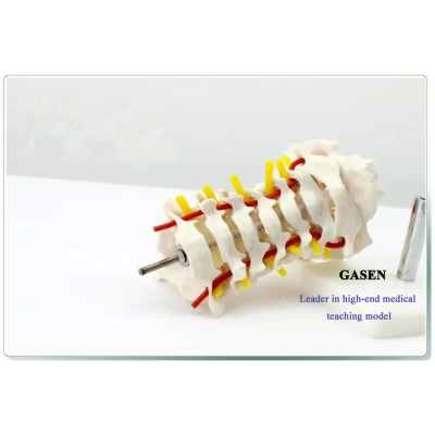 MADICAL HUMAN SKELETON MODEL TEACHING EDUCATIONAL MODEL HIGH QUALITY ANATOMY MODEL HUMAN CERVICAL CAROTID ARTERY MODEL HAND ASSEMBLED PVC MATERIAL HUMAN SKELETON GASEN-GL005