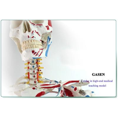 DELUXE HUMAN SKELETON MODEL HUMAN BONE MODEL 170CM MUSCLES START STOP SKELETON MODEL-GASEN-GL006