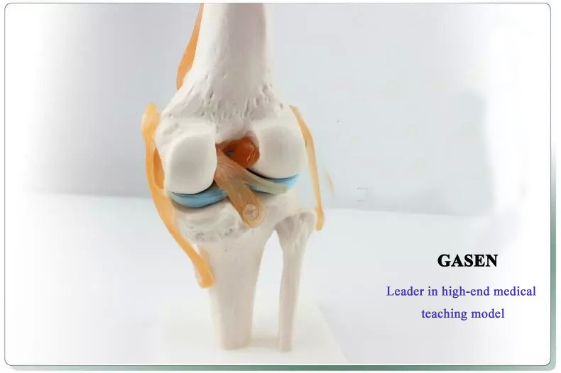 Ligament of knee joint4