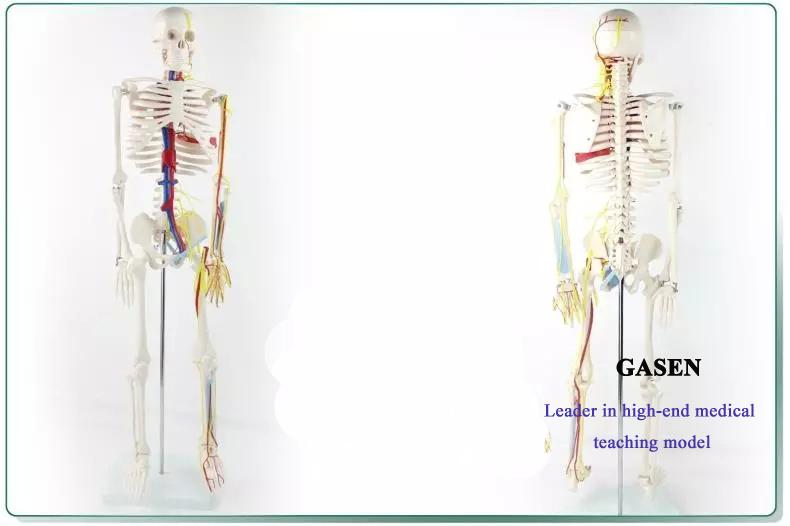 heart and blood vessel Bones08
