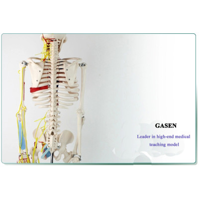 MEDICAL HUMAN SKELETON MODEL  HEART AND VASCULAR AMATOMY 85CM BLOOD CIRCULATION WASHABLE HUMAN SKELETON WITH HEART MODEL GASEN-GL008