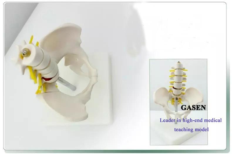 Five lumbar pelvic girdle1