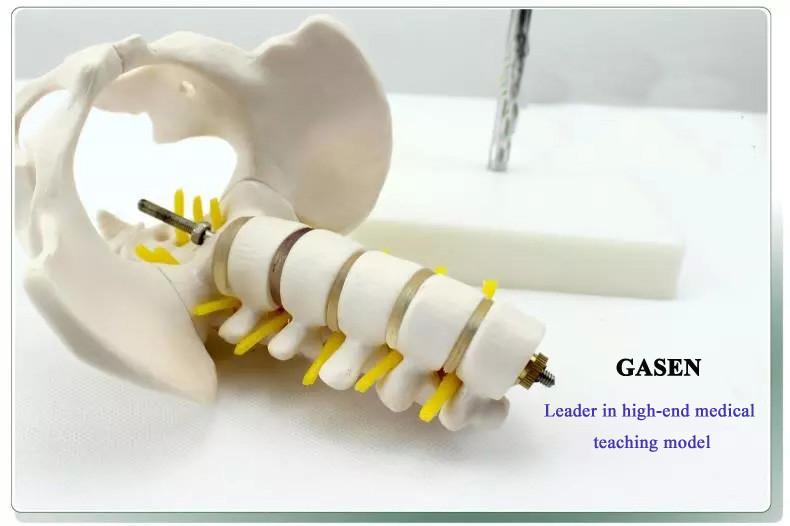 Five lumbar pelvic girdle2