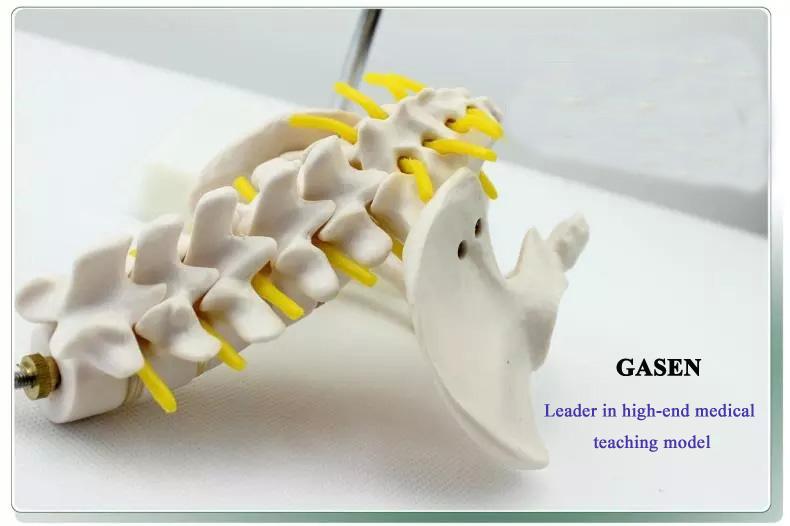 Five lumbar pelvic girdle3
