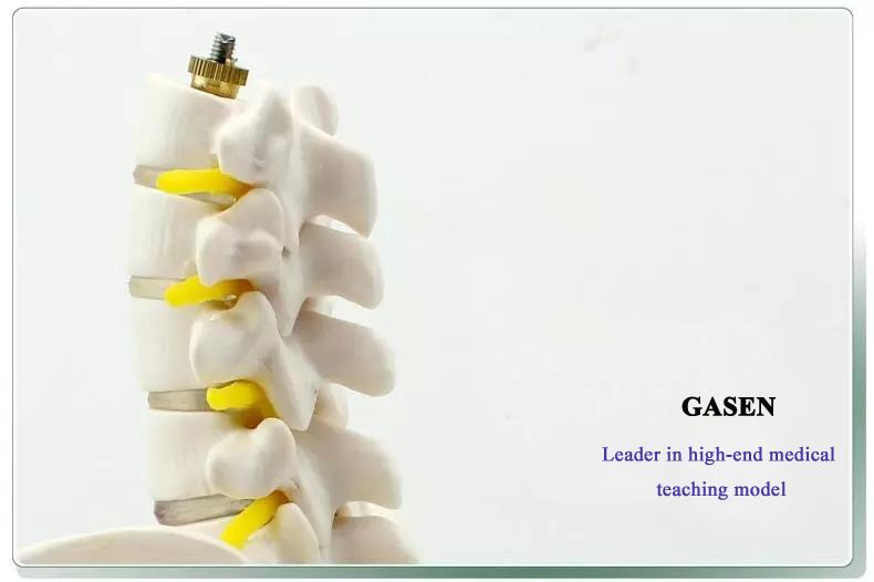 Five lumbar pelvic girdle4