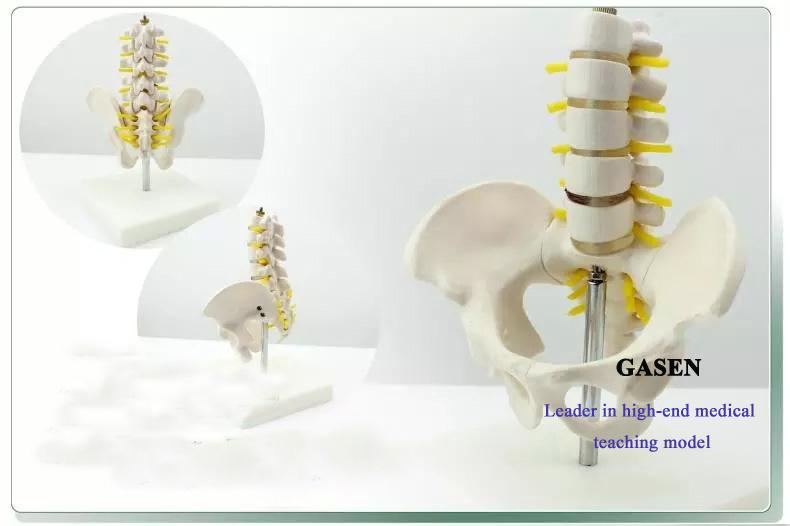 Five lumbar pelvic girdle5