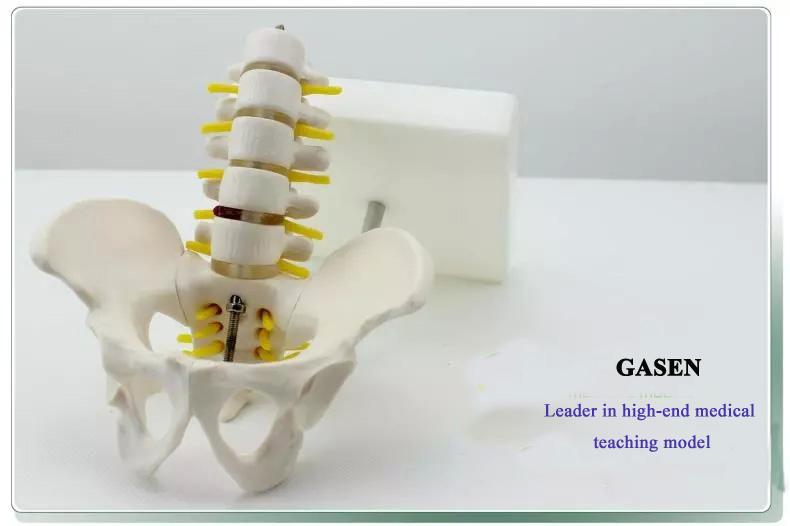 Five lumbar pelvic girdle6