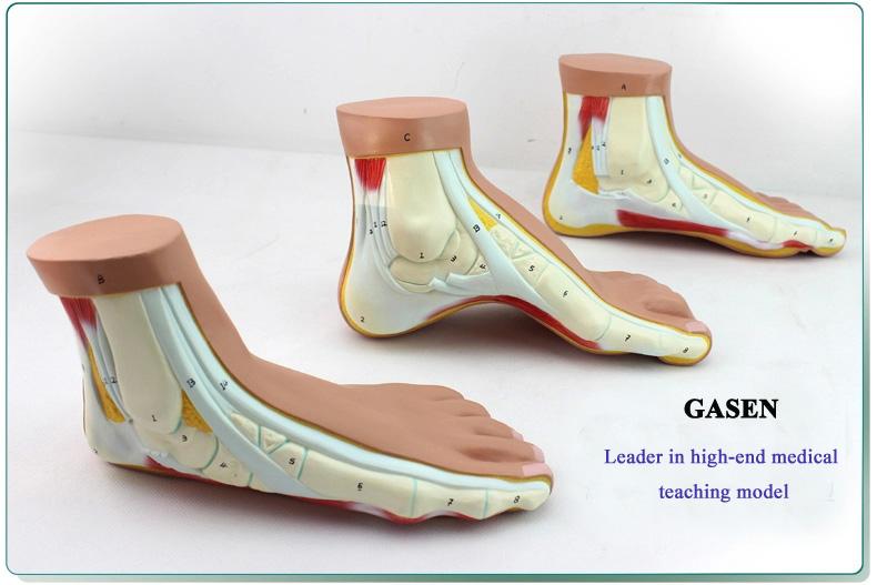 Foot model1